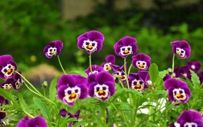 Growing Pansies – Home Gardening Tips
