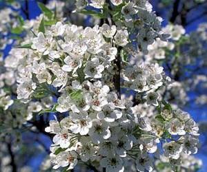 Chanticleer Pear Tree