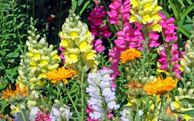 Snapdragon Annual Springtime Flowers